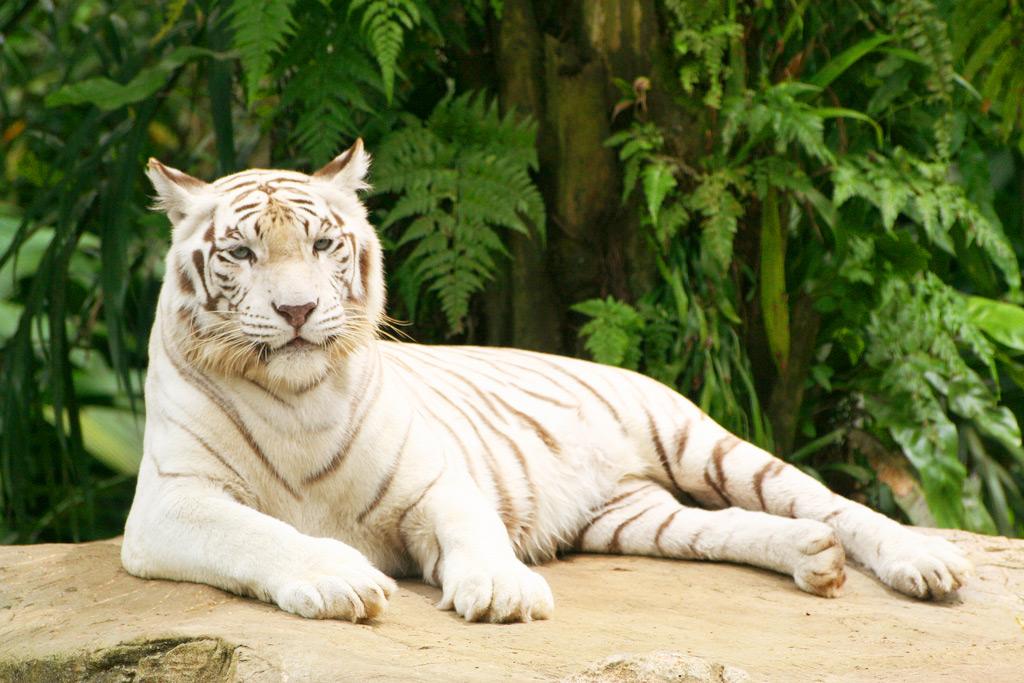 Белый тигр в зоопарке Сингапура