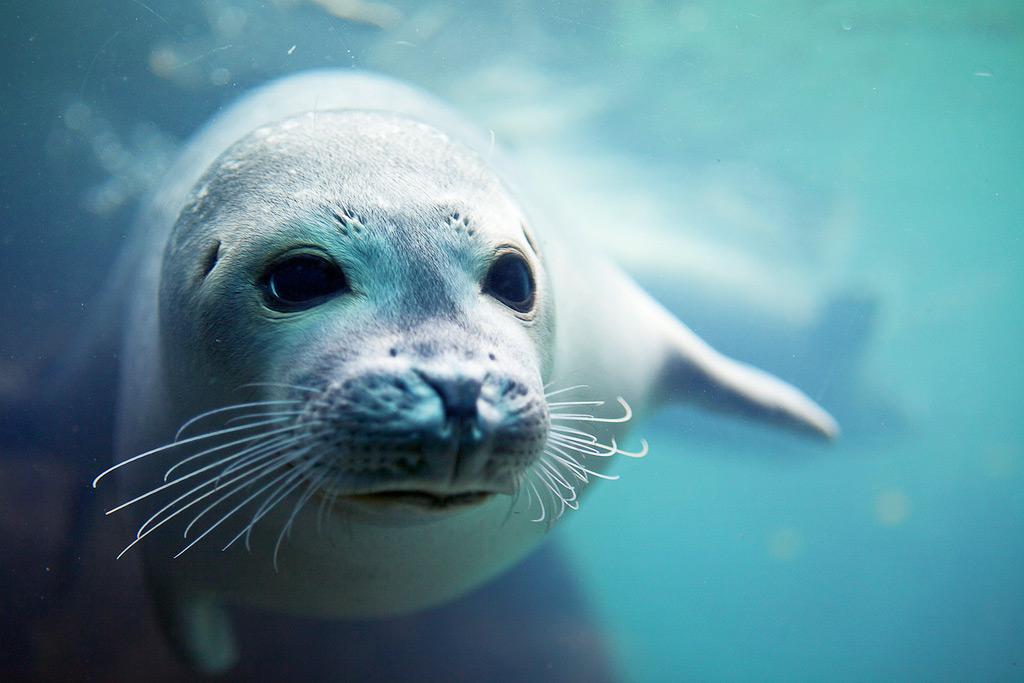 Тюлень в зоопарке Цюриха