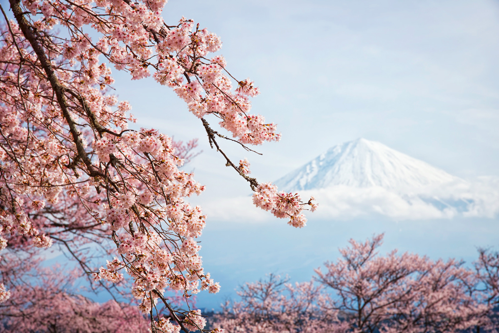A-Spring-Day-in-Fujinomiya Цветущая сакура - символ мимолетности жизни