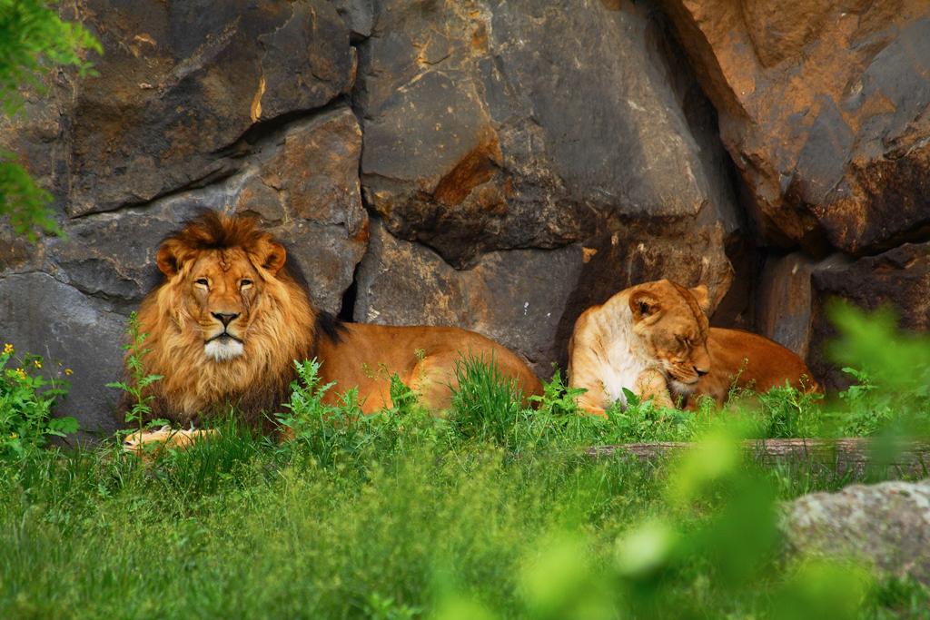 Львы в берлинском зоопарке