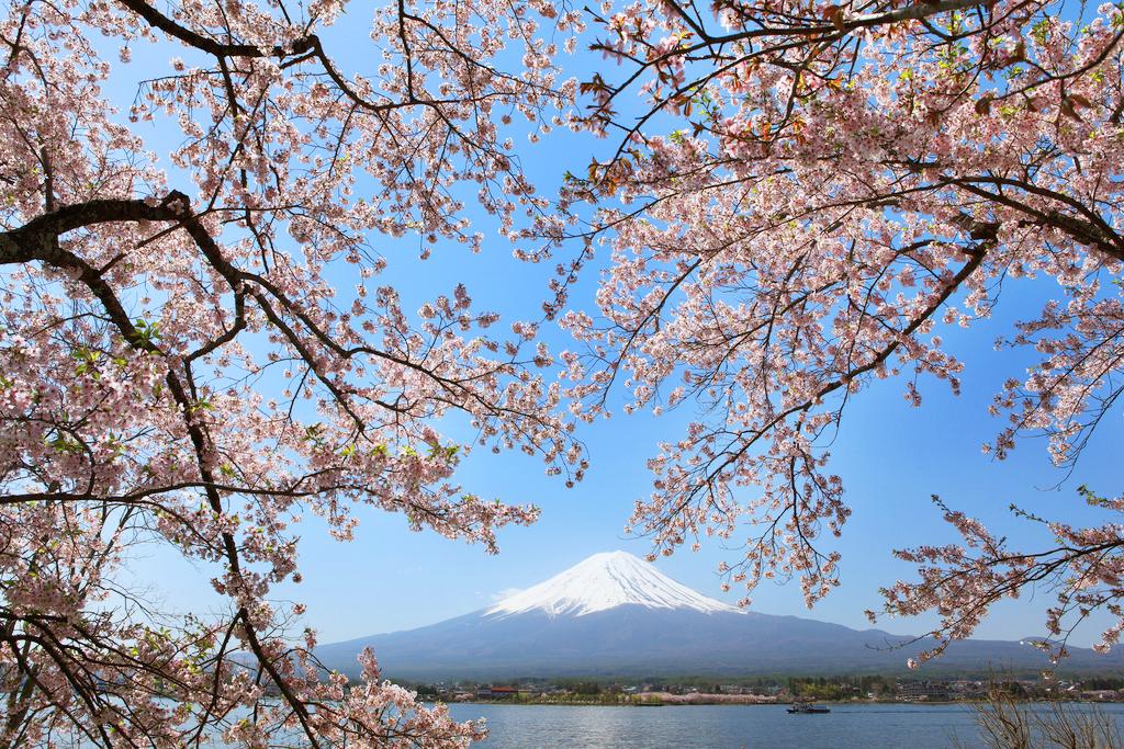 Цветение сакуры на северных берегах озера Кавагутико