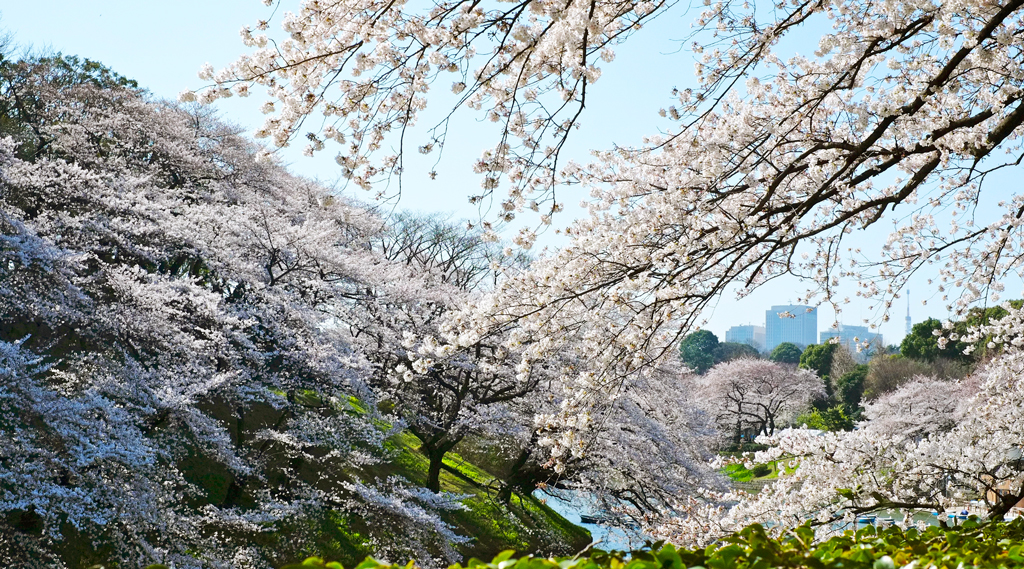 Цветение сакуры в Чидоригафучи, Токио, Япония