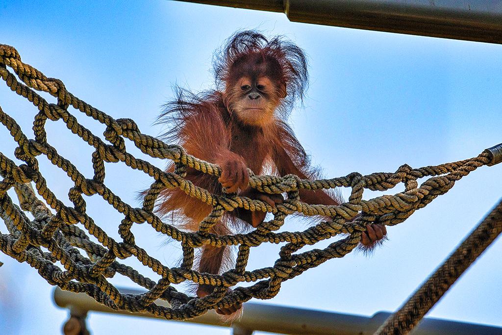 Детеныш орангутана в зоопарке Сан-Диего (San Diego Zoo)