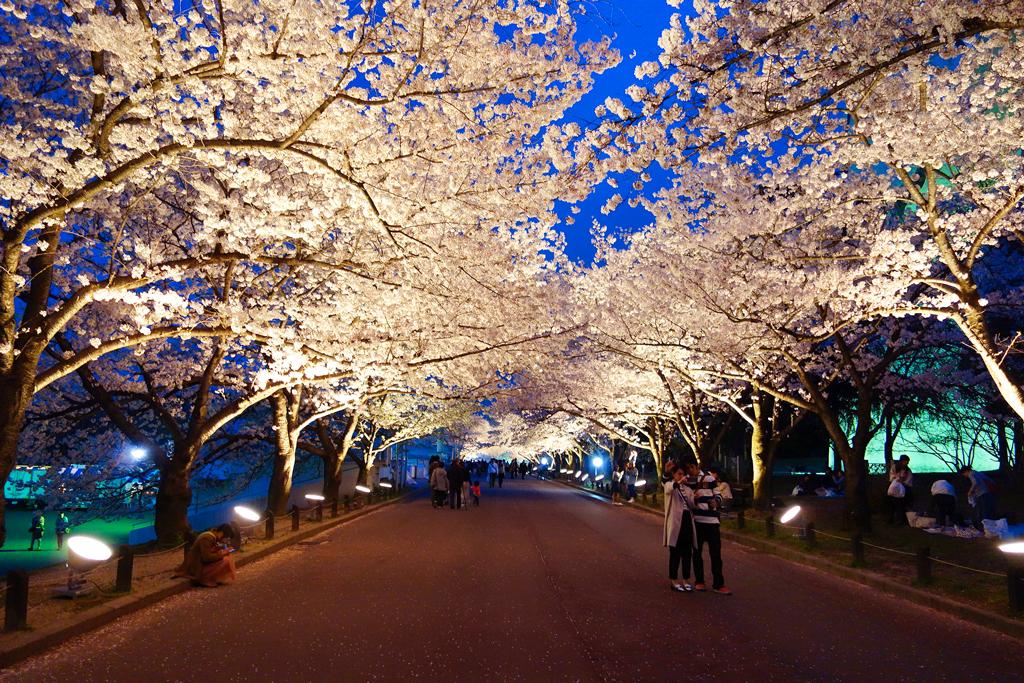 Цветение сакуры в парке 70-летия Всемирной выставки, Осака, Япония