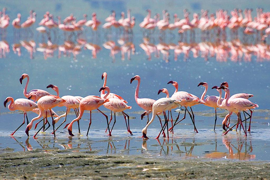 Фламинго на озере Натрон