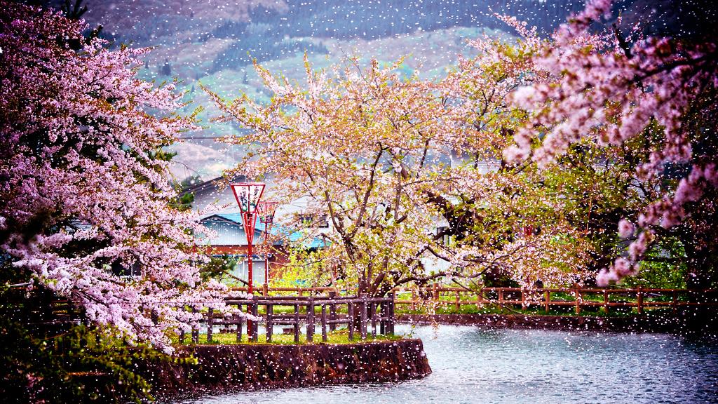 Картинки по запросу цветение сакуры в японии
