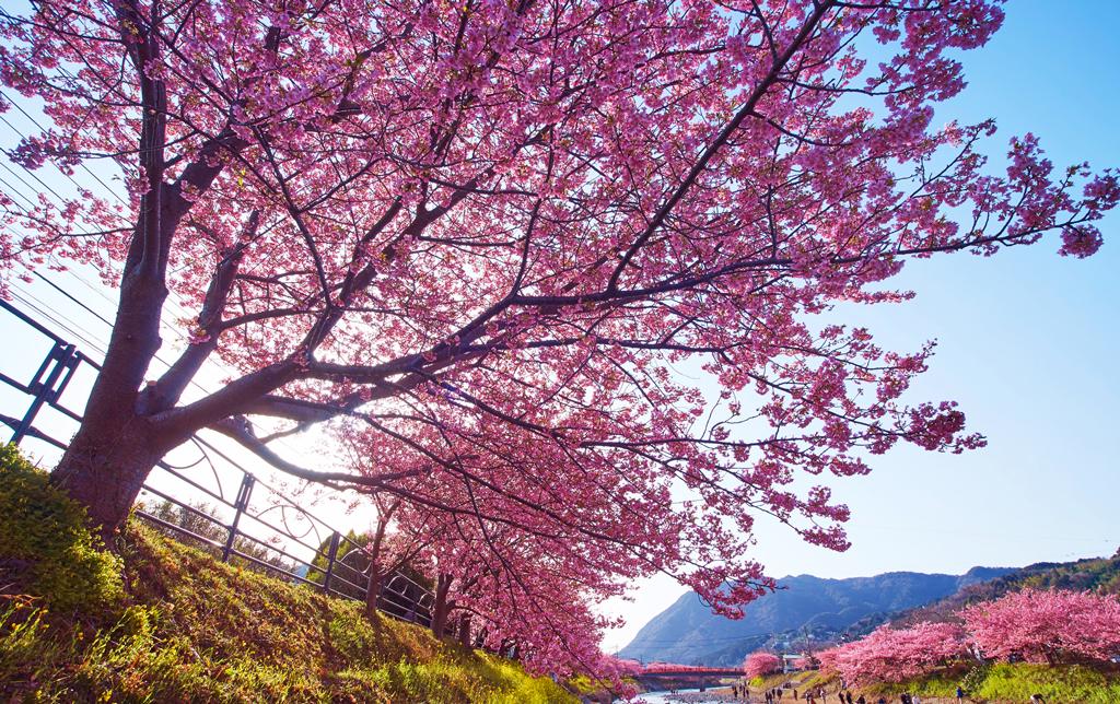 О-Ханами в поселоке Кавадзу, Полуостров Идзу, Япония