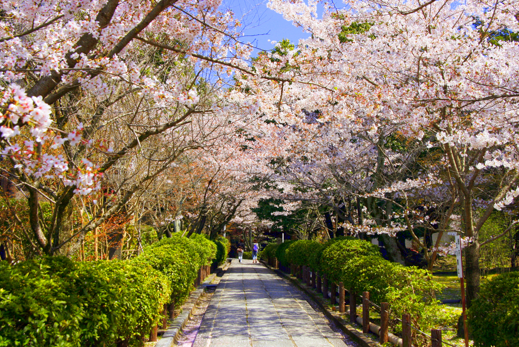Цветение сакуры в парке Маруяма, Киото, Япония