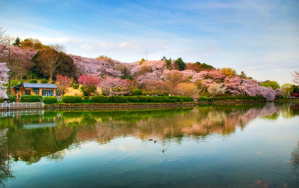 Цветение сакуры в парке Митсуике, Иокогама, Япония
