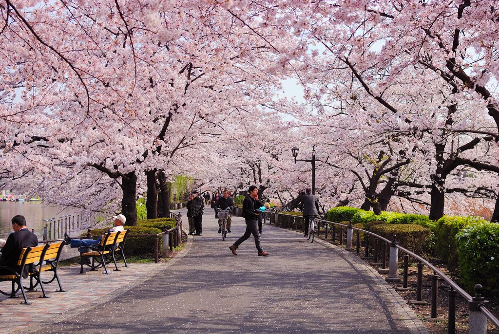 Цветение сакуры в парке Уэно, Токио, Япония
