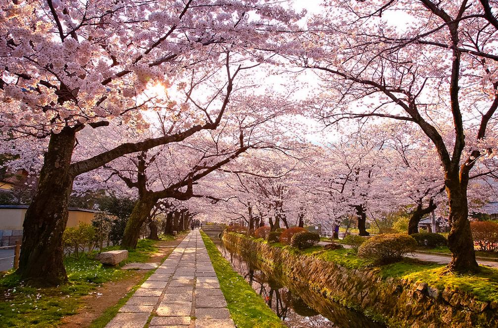 Цветение сакуры на Пути Философа, Киото, Япония