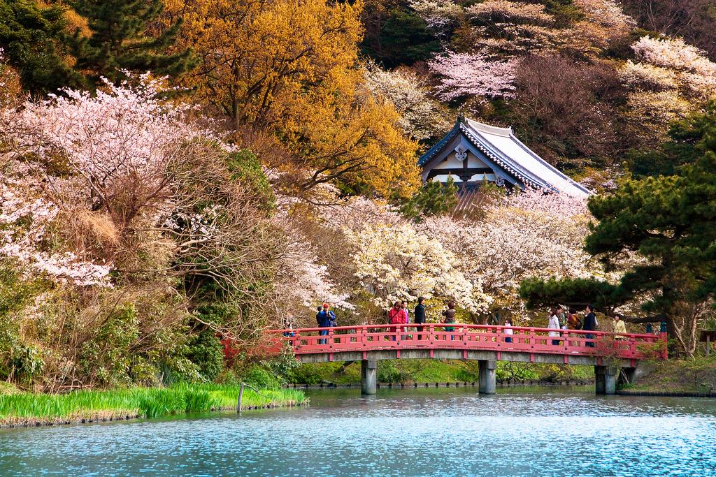 Цветение сакуры в саду Санкэй-эн, Йокогама, Япония