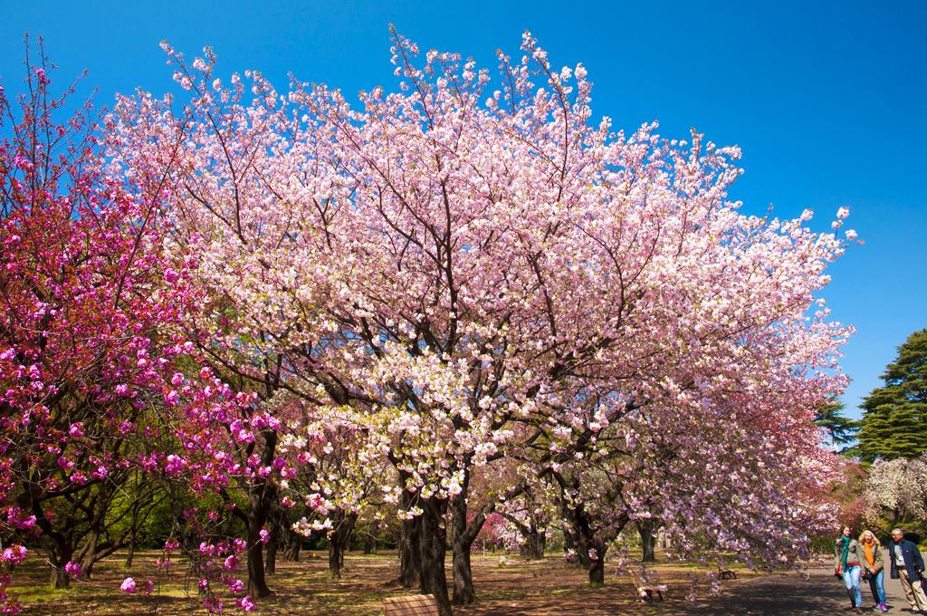 Цветение сакуры в парке Синдзюку-Гёэн, Токио, Япония