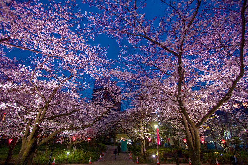 Цветение сакуры в парке Сумида, Токио, Япония