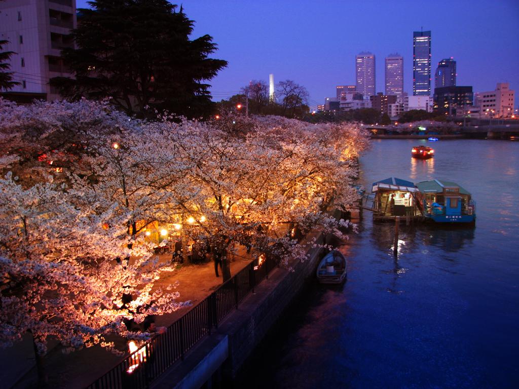Цветение сакуры возле Монетного двора Японии, Осака