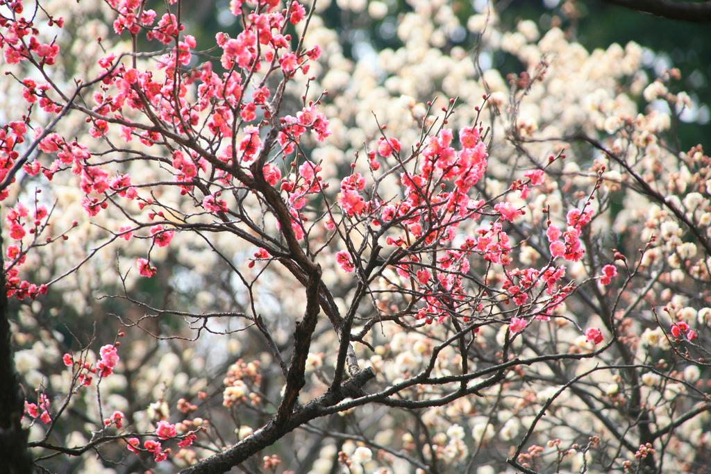 Фестиваль цветения слив - Умэ Мацури