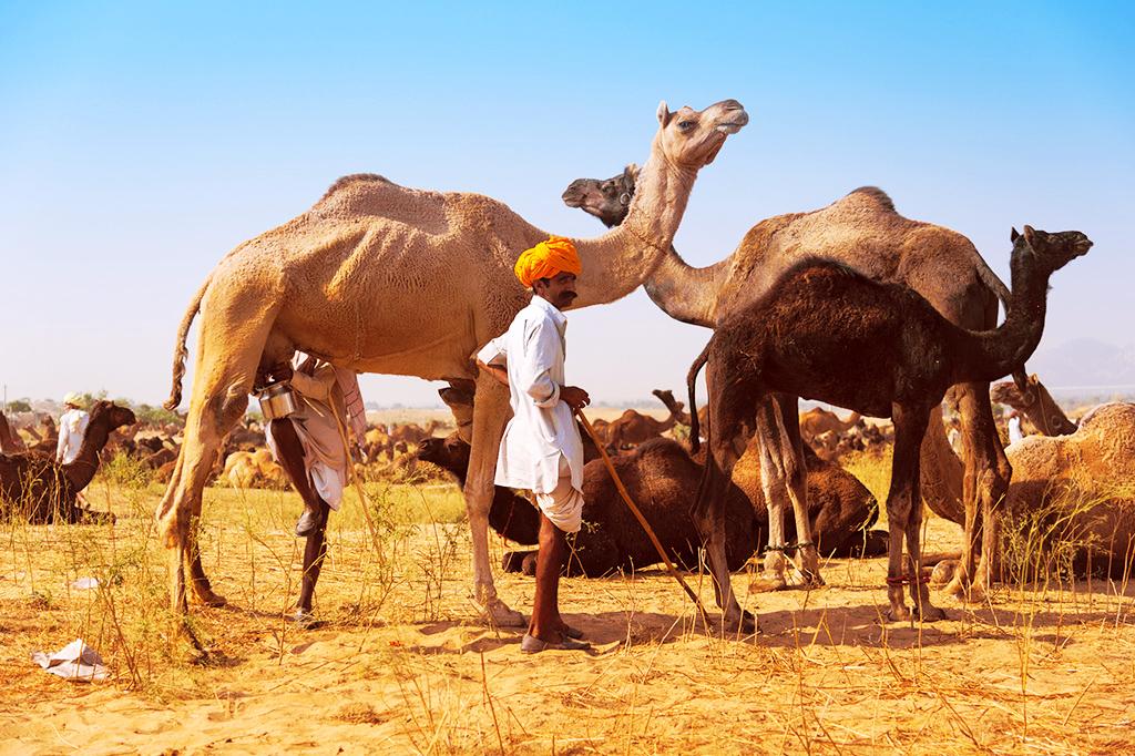 Ярмарка верблюдов в Пушкаре, Раджастхан, Индия