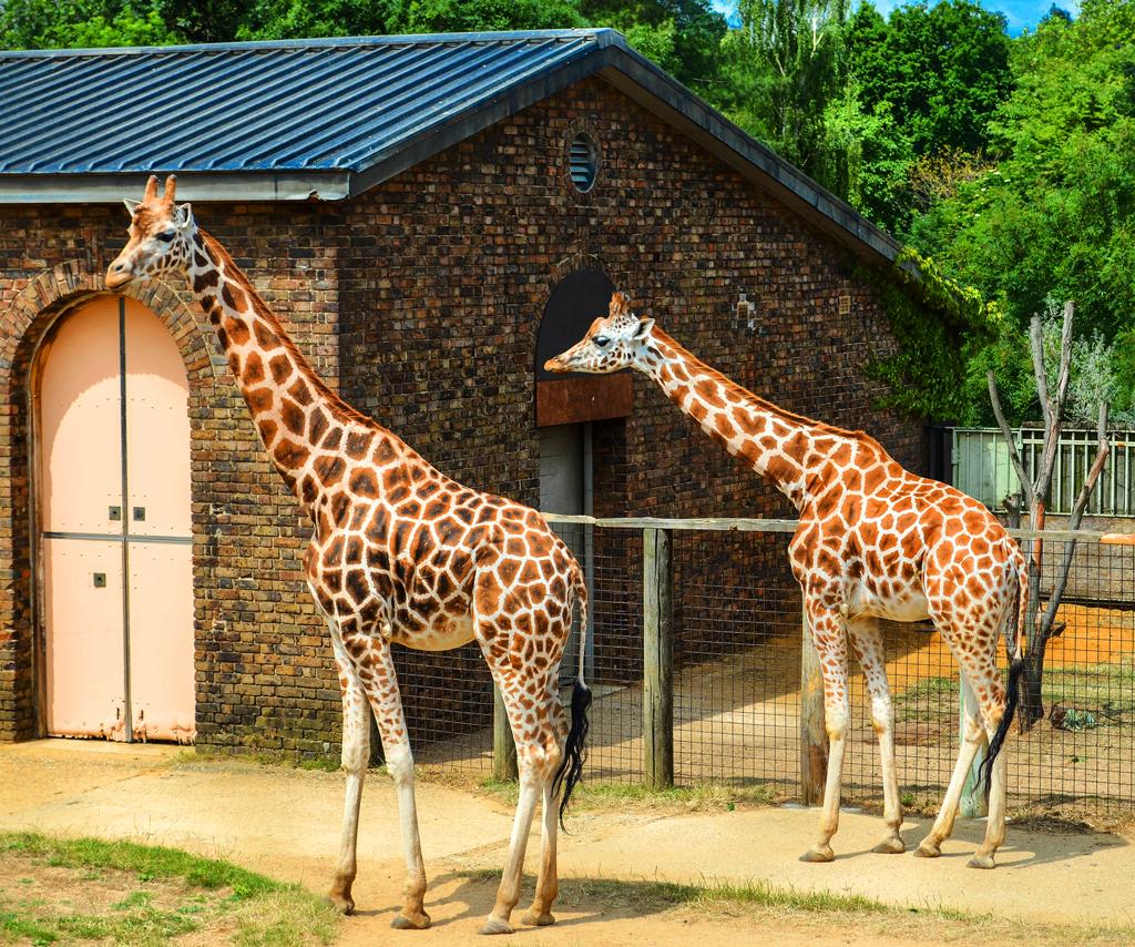 Жирафы в лондонском зоопарке (London Zoo)