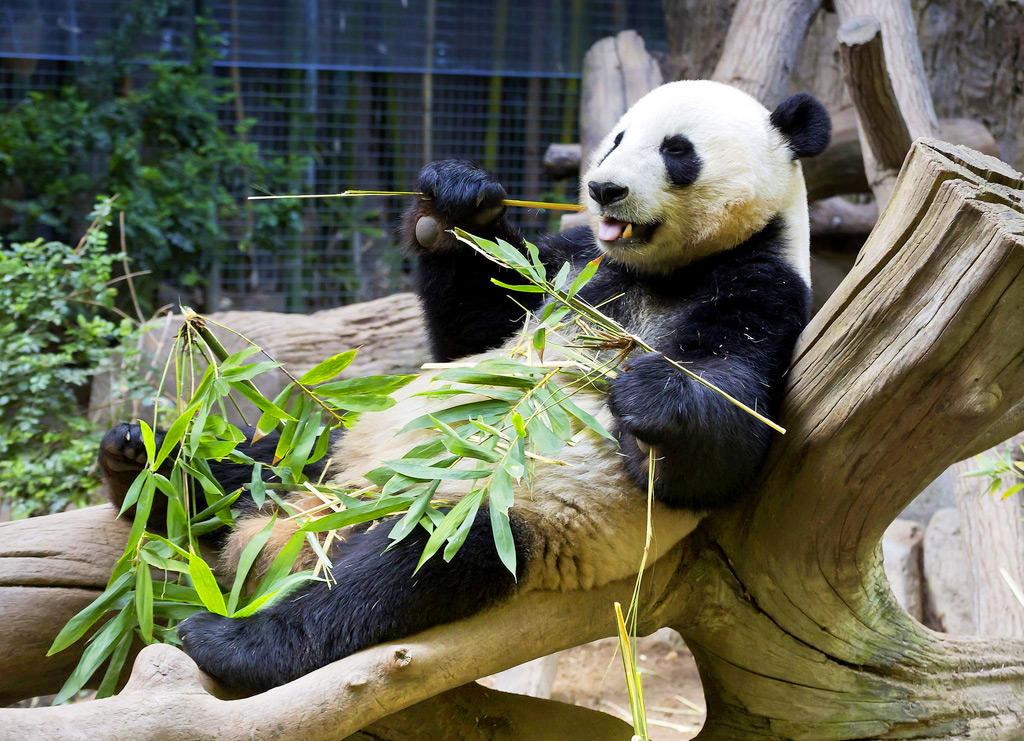 Панда в зоопарке Сан-Диего