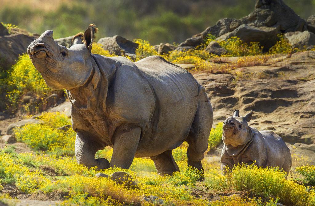 Носороги в зоопарке Сан Диего