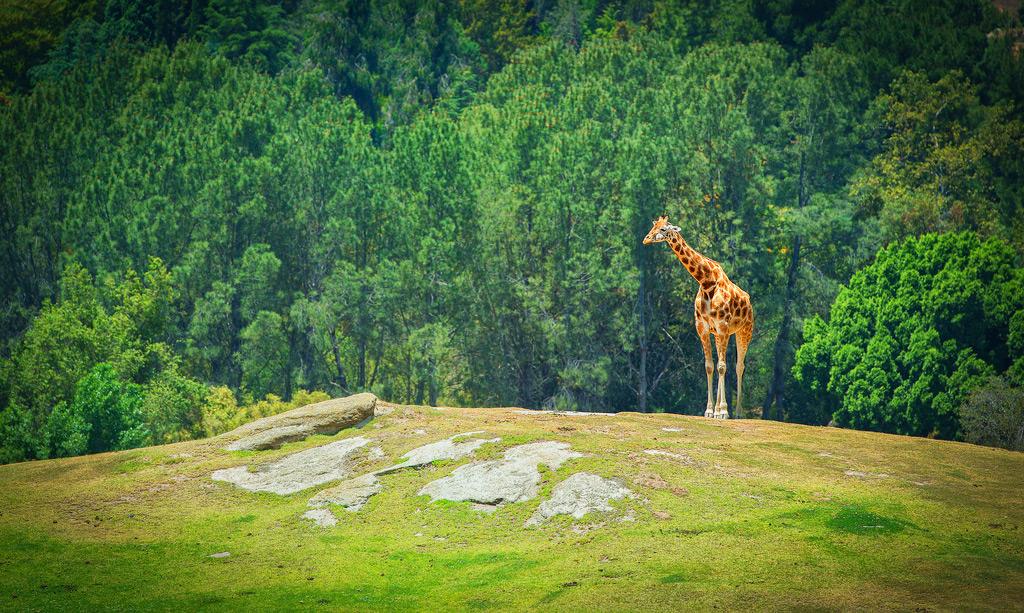 Жираф в зоопарке Сан-Диего