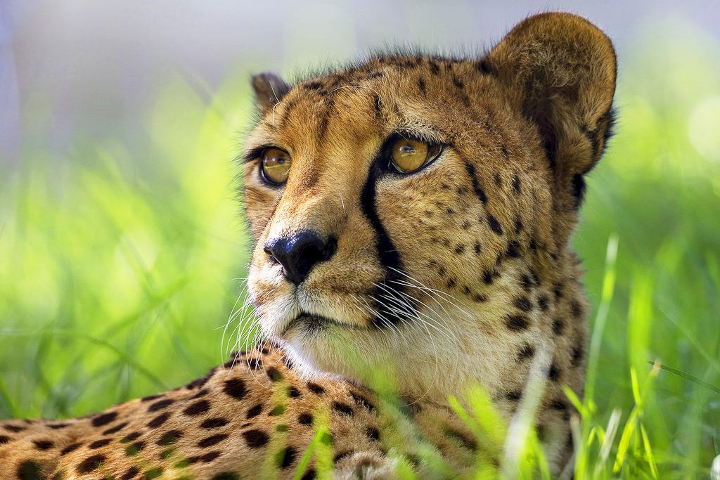 Гепард в зоопарке Сан-Диего