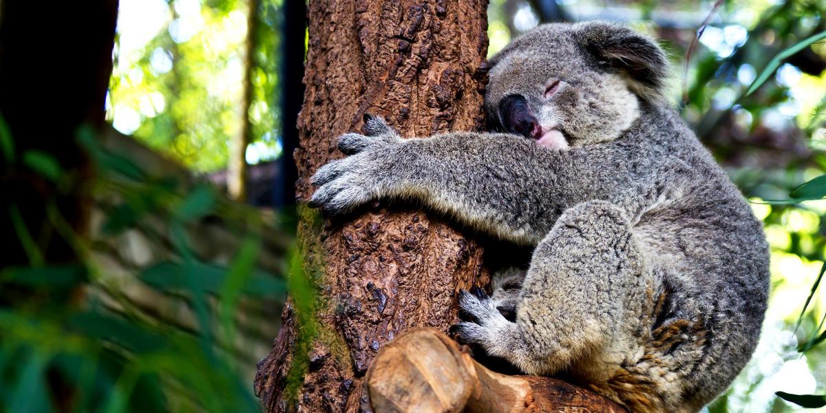 Лоун Пайн Коала_Lone Pine Koala Sanctuary