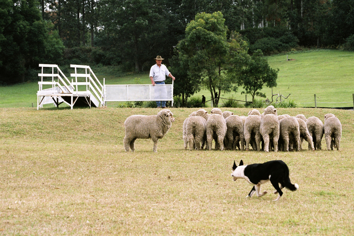 Лоун Пайн Коала_ферма овец