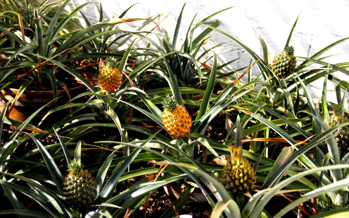 sady_heligana-ananas.jpg