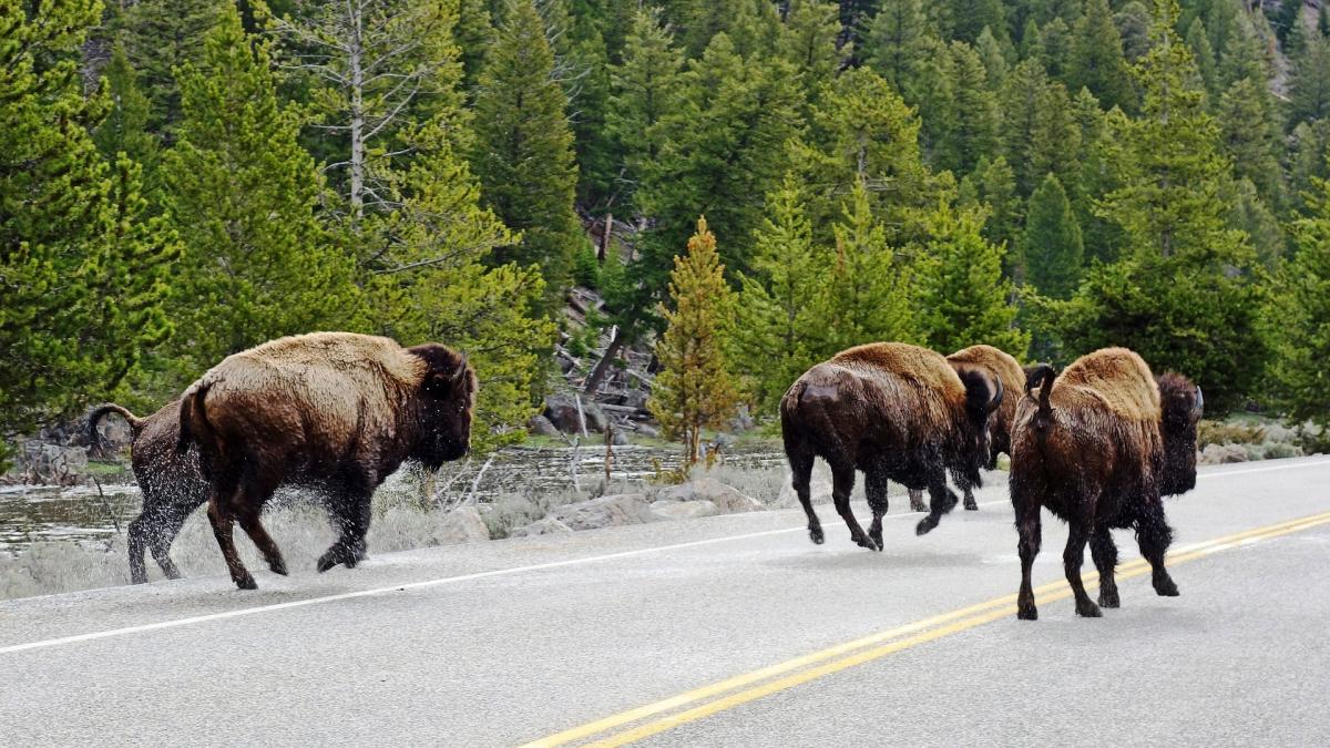 Йеллоустонский национальный парк бизоны бегут