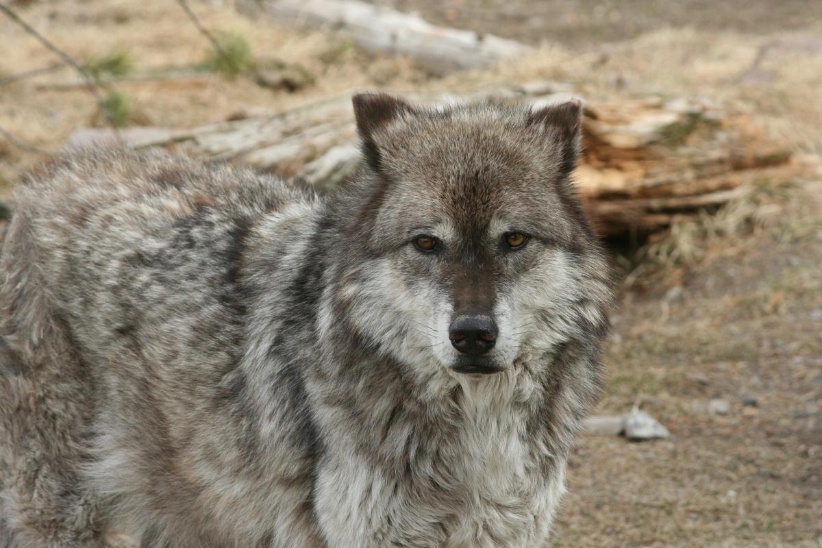 Волки в Йеллоустоуне